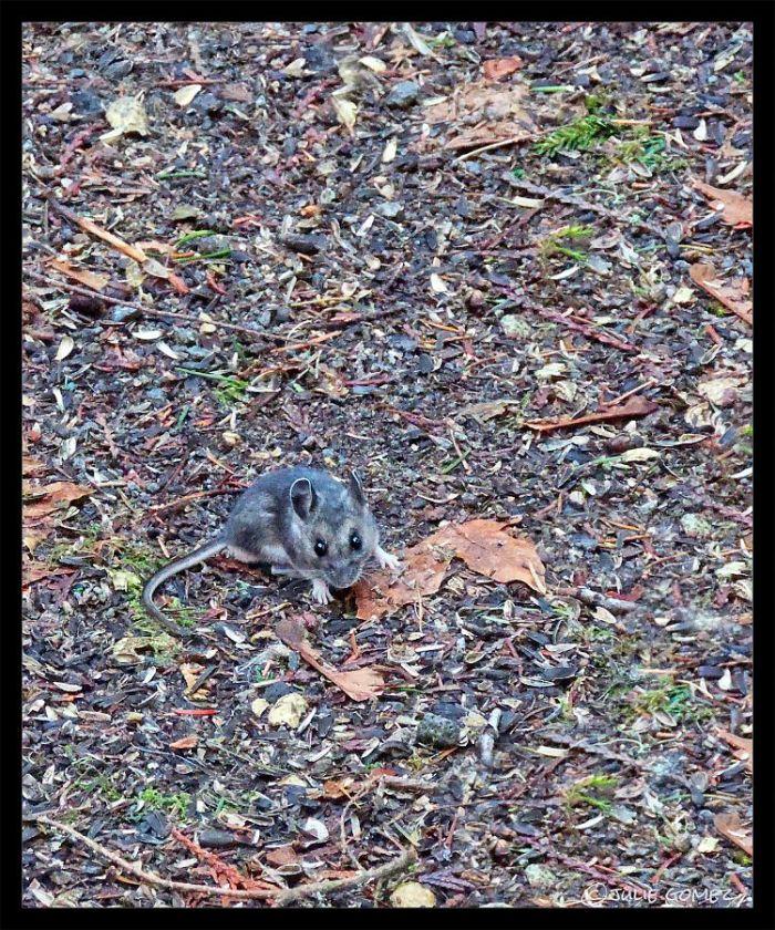 Deer Mouse—Peromyscus maniculatus