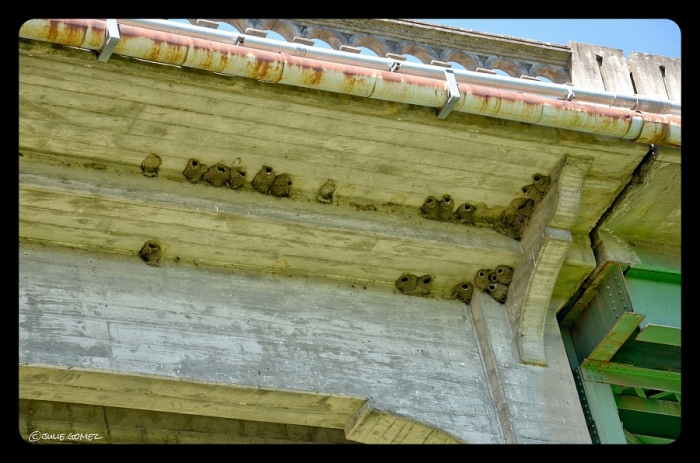 Cliff swallow mud houses along the girders of Maupin Bridge
