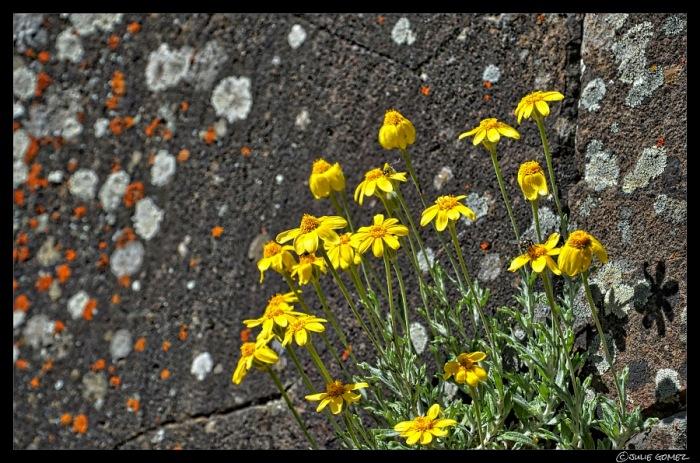 Oregon Sunshine (Eriophyllum lanatum)