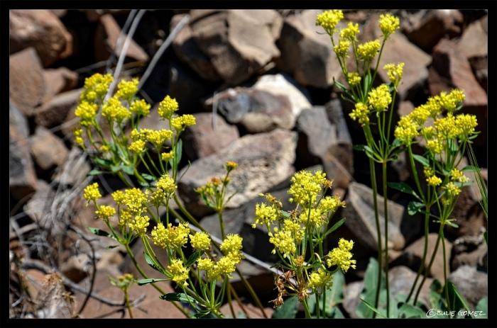 Sulphur-Flower (Eriogonum umbellatum var. polyanthum)