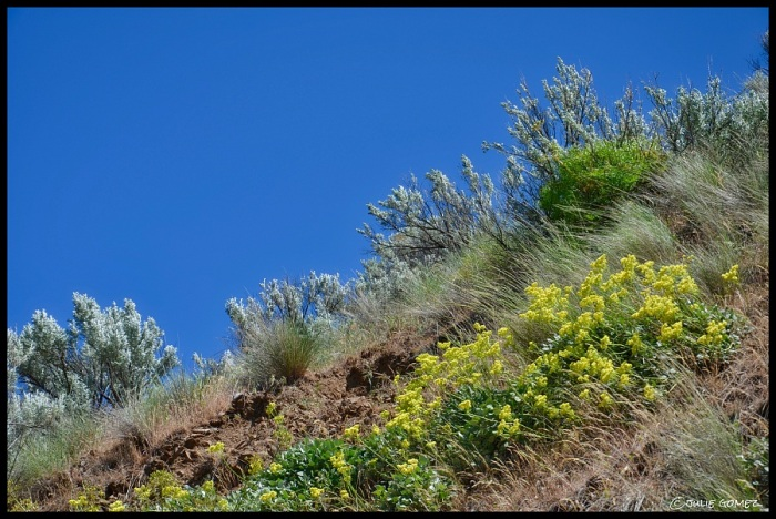 Sagebrush (Artemisia cana) and Sulphur Flower (Eriogonum umbellatum var polyanthum)—Deschutes River Canyon, Maupin