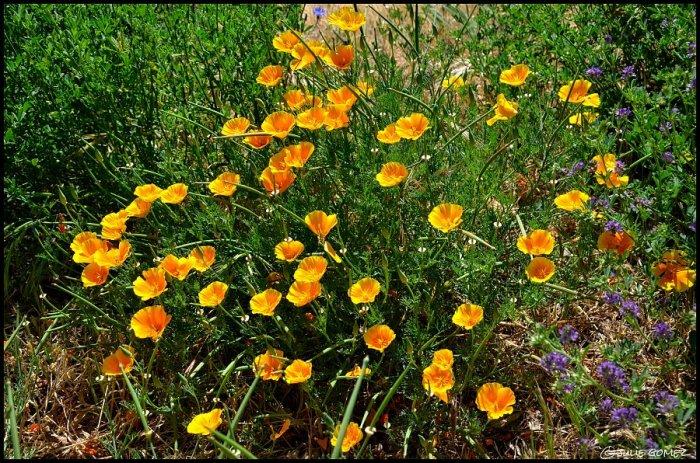 California Poppy (Eschscholzia californica) a native, annual-perennial along the lower Klickitat River, Washington.