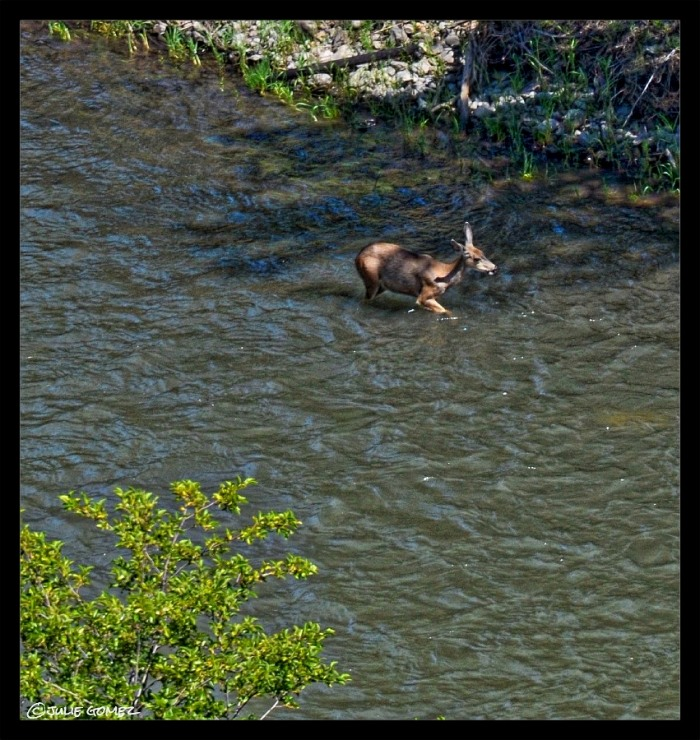 A doe cooling off in the Klickitat River.