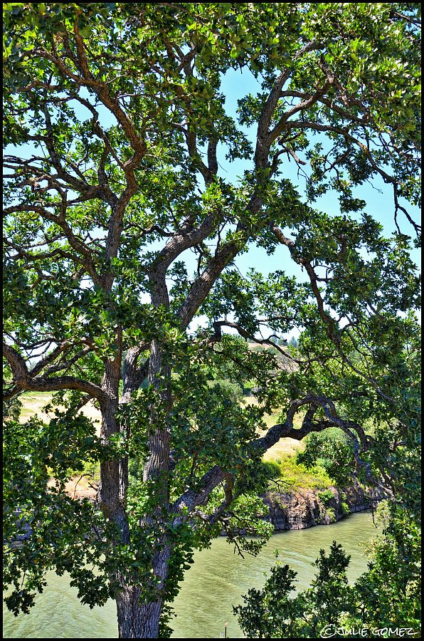 Oregon white oak (Quercus garryana)—Klickitat River in Lyle, Washington.