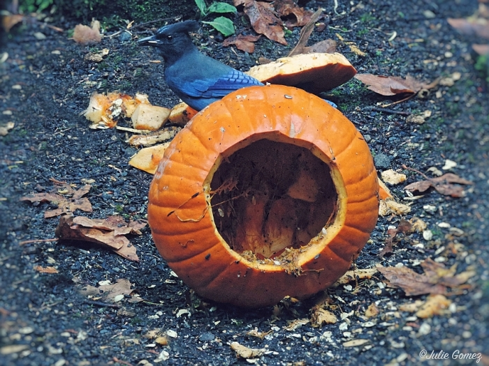 Steller's jays love pumpkin seeds
