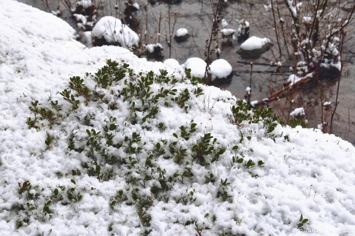 Bearberry (Arctostaphylos uva-ursi) aka kinnikinnick